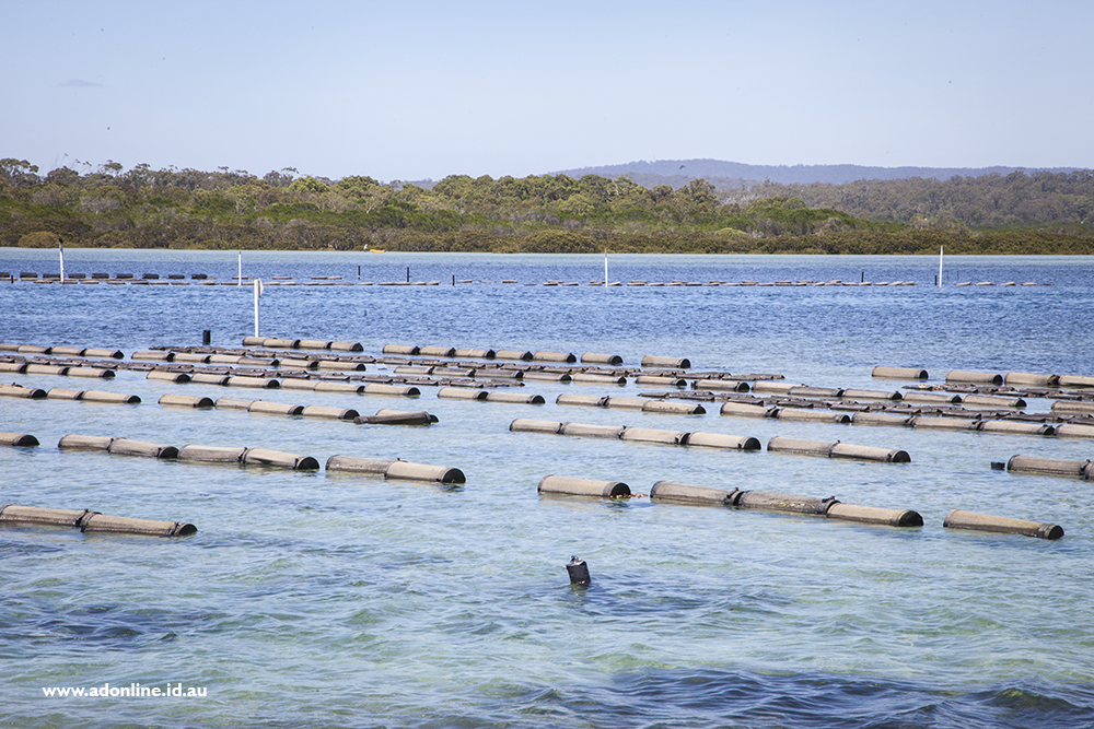 Oyster farms in the water