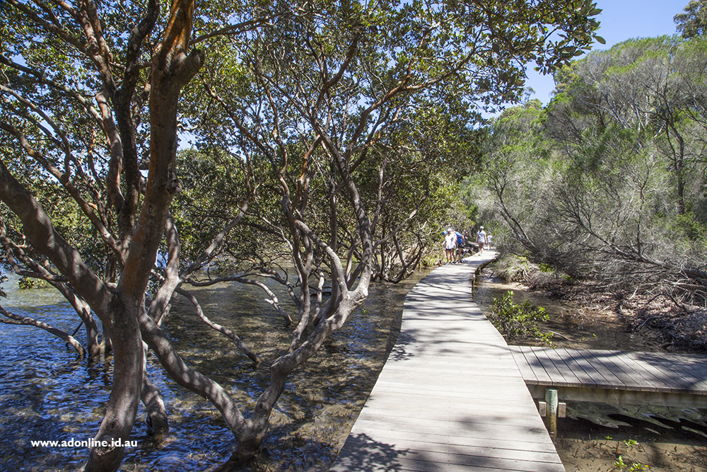 Mangroves growing along the Merimbula boardwalk.