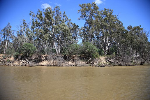 Eucalypts on the bank of the Murray River.