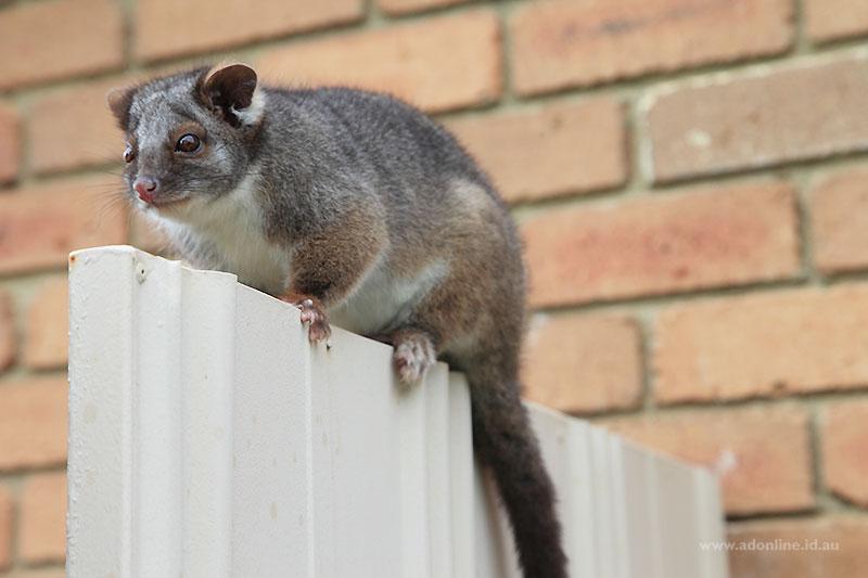 Possum sitting atop a gate